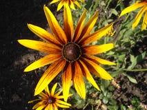 Cutleaf coneflower (rudbeckia) yellow flower Royalty Free Stock Photos