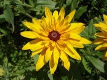 Cutleaf coneflower (rudbeckia) yellow flower Royalty Free Stock Image