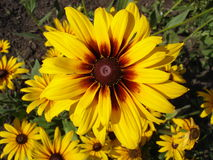 Cutleaf coneflower (rudbeckia) yellow flower Stock Photography