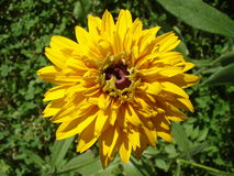 Cutleaf coneflower (rudbeckia) yellow flower Stock Image