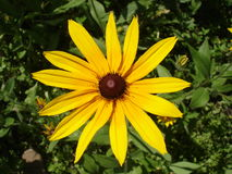 Cutleaf coneflower (rudbeckia) yellow flower Royalty Free Stock Image