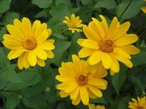 Cutleaf coneflower (rudbeckia) yellow flowers Stock Photos