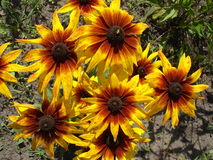 Cutleaf coneflower (rudbeckia) yellow and red flowers Royalty Free Stock Photography