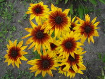 Cutleaf coneflower (rudbeckia) yellow and red flowers Stock Photo