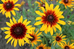 Cutleaf coneflower rudbeckia yellow and red flowers Stock Photography
