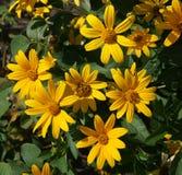 Cutleaf coneflower (rudbeckia) yellow flowers Stock Photo