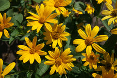Cutleaf coneflower (rudbeckia) yellow flowers Stock Photography