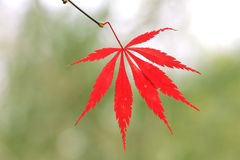 Cutleaf Japanese Maple Stock Images