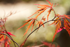Cutleaf japanische Ahornblattmuster Lizenzfreie Stockbilder