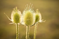Cutleaf teasel Royalty Free Stock Photography