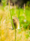 Cutleaf teasel plant Royalty Free Stock Photography