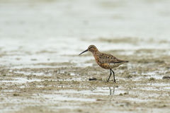 Curlew Sandpiper Royalty Free Stock Images