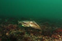Cutllefish - Sepia officinalis Stock Image