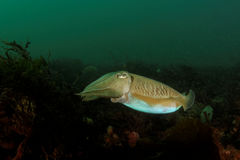 Cutllefish - Sepia officinalis Stock Images