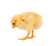 Cutout easter chick. Sweet yellow easter chick on a white background Royalty Free Stock Images