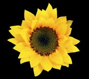 Cutout flower - isolated yellow sunflower on black background stock photos