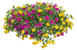 Free Cutout Pink Flowers. Petunia Stock Photos - 163357943
