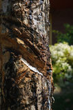 Cuts on bark of rubber tree. Thailand Royalty Free Stock Photo