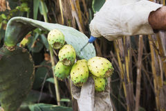 Cuts off a Prickly Pear. In Sicily, Italy Royalty Free Stock Images