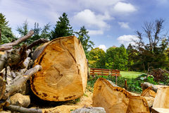 Cutted down beechtree in national park Stock Photo