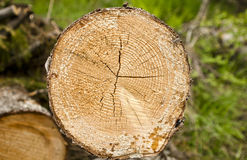 Cutted down tree Royalty Free Stock Image