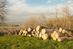 Cutted timber tree trunks in the flanders forest autumn Royalty Free Stock Image