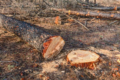 Cutted tree Stock Photography