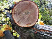 Cutted tree fell Royalty Free Stock Photos