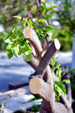 Cutted tree. On a cutted tree started growing leafs Royalty Free Stock Image