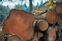 Cutted tree trunks Stock Image