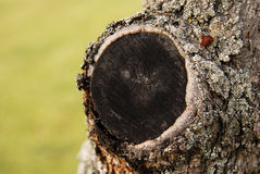 Cutted trunk of a plum tree Stock Photography