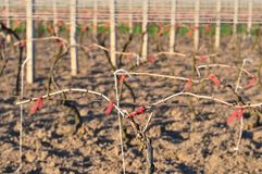 Cutted vineyard in spring Royalty Free Stock Photography