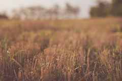 Cutted wheat in farm field at sunset. In autumn days Royalty Free Stock Photo