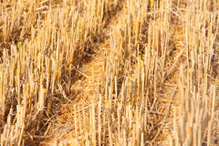 Cutted wheat field soil plant Royalty Free Stock Images