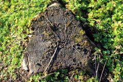 Cutten oak tree stump Stock Images