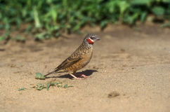 Cutthroat finch, Amadina fasciata obrazy stock