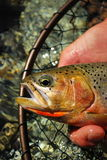 Cutthroat Trout. A westslope cutthroat trout, from British Columbia stock photography
