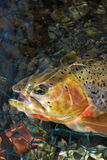 Cutthroat Trout. A westslope cutthroat trout, from British Columbia stock photos