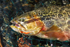 Cutthroat Trout. A westslope cutthroat trout, from British Columbia stock image