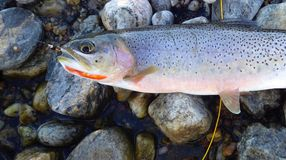 Cutthroat Trout Caught Fly Fishing Laying on Rocky Stream side. Nymph in mouth stock photos