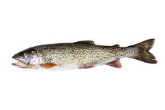 Cutthroat Trout in Perfect Condition on white background. Horizontal photo of a wild Cutthroat trout, in pristine condition, isolated on a white background Royalty Free Stock Photo