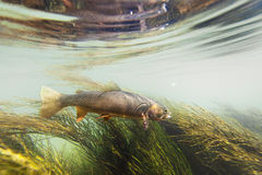 Cutthroat trout swimming agains the current Stock Photo