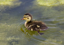 Cuttie of the ducks Stock Photography