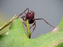 Cuttin da formiga do cortador da folha uma folha Fotos de Stock