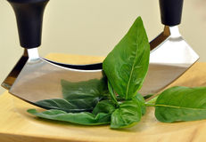 Cutting basil Royalty Free Stock Image