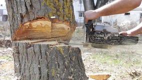 Cutting big tree stock footage