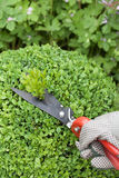 Cutting the boxwood bushes Stock Images