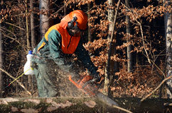 Cutting branches on spruce tree Stock Image