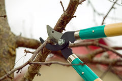 Cutting branches from tree with scissors Royalty Free Stock Photo
