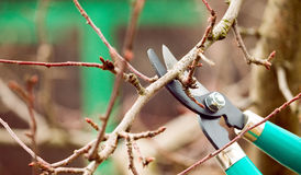 Cutting branches from tree with scissors Stock Photo
